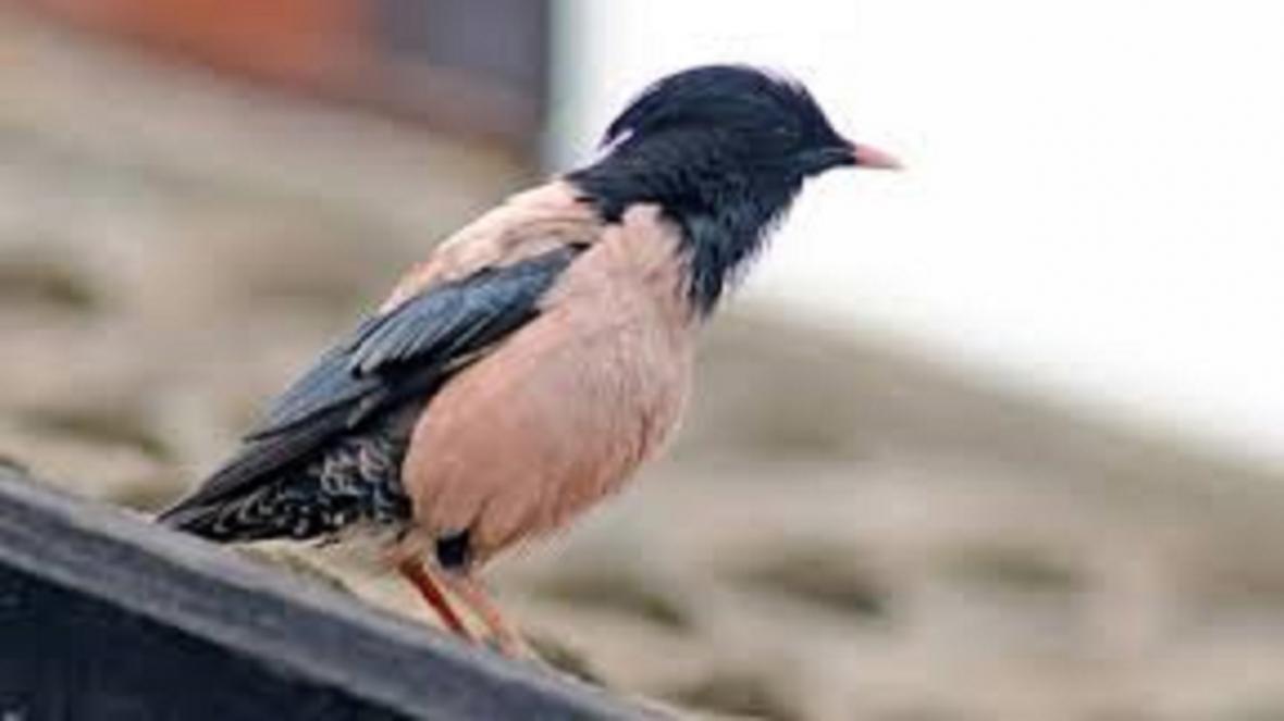 زادآوری بیش از دو هزار پرنده سار صورتی در تربت جام