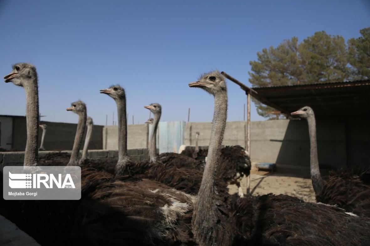 خبرنگاران رونق پرورش شتر مرغ در استان تهران